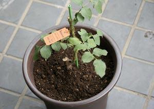パパメイアンの新苗の植え付け