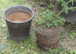 根詰まりしたバラの鉢植え