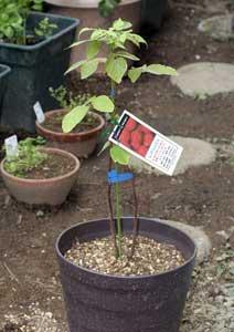 ラズベリーの新苗の植え付け