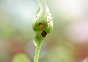 バラのつぼみを食べる害虫の食害