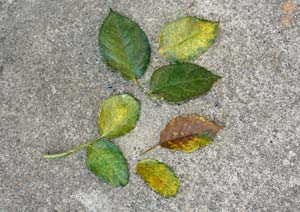 病気のバラの葉