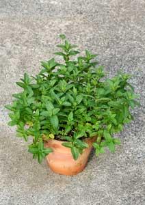 スペアミントの鉢植え