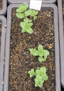 スペアミントの新苗の植え付け