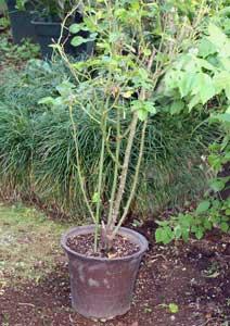 植え替え前のツルスマイリーフェイスの鉢植え