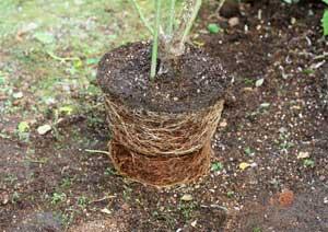 バラの根詰まり ツルスマイリーフェイスの根鉢