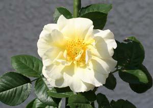 ツルスマイリーフェイスの花