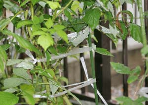 ラズベリーの台風対策と予防