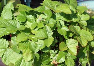 ワイルドストロベリーの葉