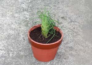 チャイブの苗の植え付け