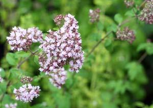 オレガノの花の写真