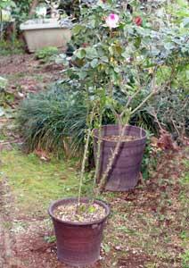 植え替え前のプリンセス ドゥ モナコの鉢植え