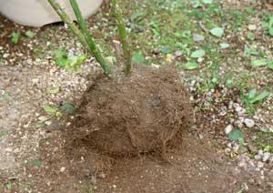 根詰まりした根をほぐす