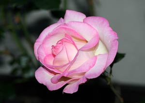プリンセス ドゥ モナコの花