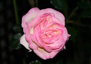 プリンセス ドゥ モナコの花弁の開き具合