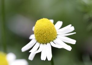 ジャーマンカモミールの花の収穫時