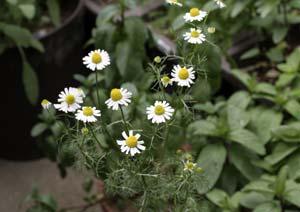 ジャーマンカモミールの複数輪の花