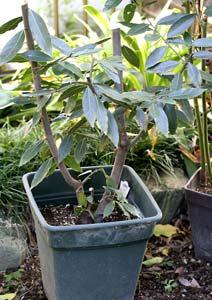 剪定後の月桂樹の鉢