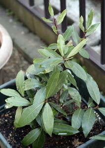 冬越し中の月桂樹の鉢植え