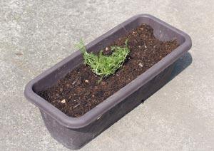 ローマンカモミールの苗の植え付け