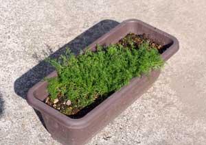 冬越し中のローマンカモミールの鉢植え