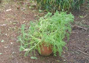 取り木で子株を増やしたローマンカモミールの鉢植え