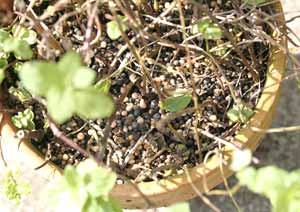 ニホンハッカの鉢植えに追肥を与える