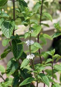ニホンハッカの花