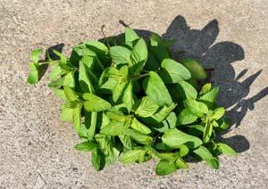 ニホンハッカの葉の収穫