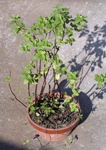ニホンハッカの根詰まりした鉢植え
