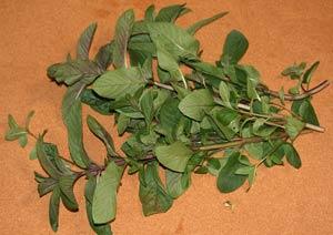 ブラックペパーミントの葉の収穫
