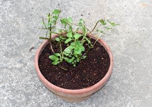 ブラックペパーミントを鉢に植え付ける