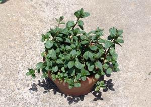 冬を越したブラックペパーミントの鉢植え