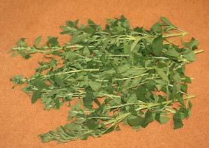 ステビアの葉の収穫
