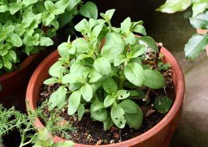 冬越し後の春のステビアの鉢植え
