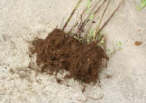 アップルミントの根を軽くほぐす