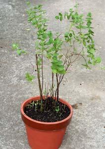 ひとまわり大きな鉢にアップルミントを植え替える