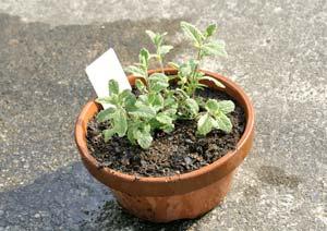 パイナップルミントの苗の植え付け