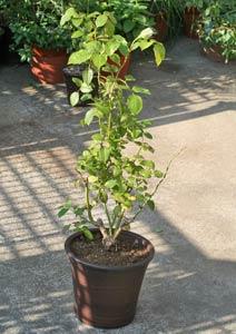 アンナプルナの新苗の植え付け