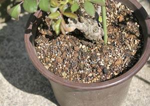 アンナプルナのバラの鉢に、固形肥料を与える様子