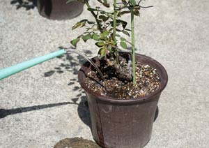 アンナプルナのバラの鉢に液肥を与える様子