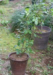 植え替え前のアンナプルナの鉢植え
