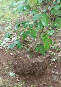 根鉢をほぐしたバラの株