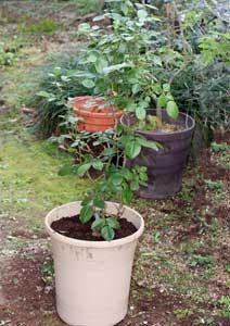アンナプルナ バラの植え替え