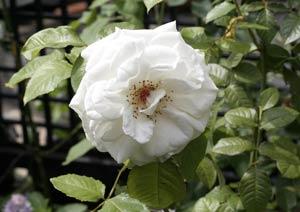 アンナプルナのバラの花