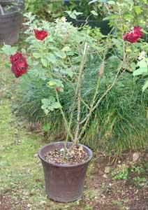 植え替え前の黒真珠の鉢植え