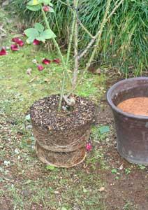 黒真珠 バラの根鉢