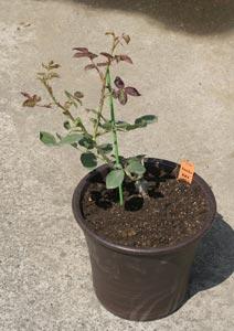 黒真珠のバラの苗の植え付け