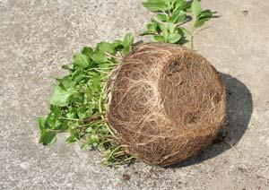 鉢に沿うように伸びる根