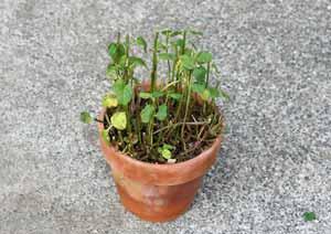 強剪定をしたオーデコロンミントの鉢植え