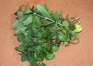 オーデコロンミントの葉の収穫